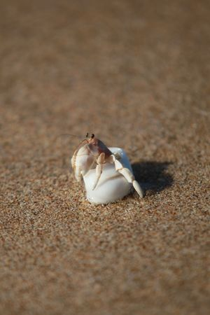 Lonely Small Crab In A White Shell On A Clean Fine Sand