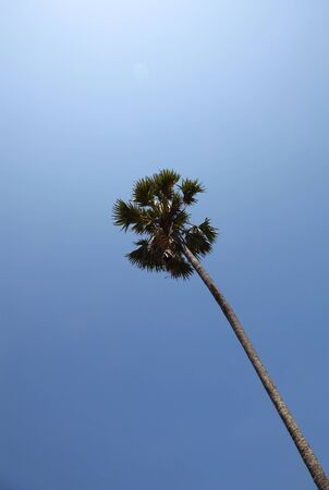 Tall Single Coconut Palm Tree On A Serene Blue Sky Stock Photo - 9538475