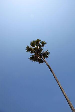 Tall Single Coconut Palm Tree On A Serene Blue Sky