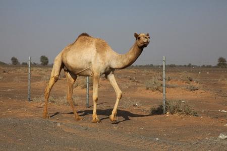 Single Camel Walking On A Sandy Road Near A Wired Fence