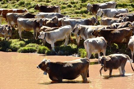 Cows in the lake Stock Photo