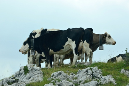 Cows in mountain Stock Photo