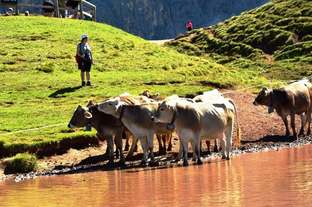 Cows on the lake