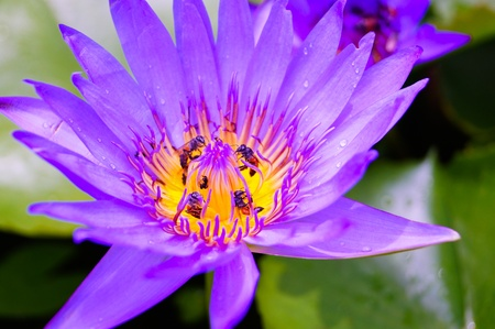 purple lotus with bees photo
