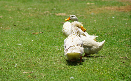 color image mallard duck:  duck are cleaning body on green grass background Stock Photo