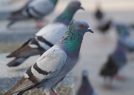 pigeon and up body in country and street photo