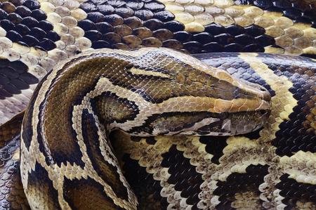 ball python: python snake
