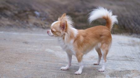 brow: brow small chihuahua dog