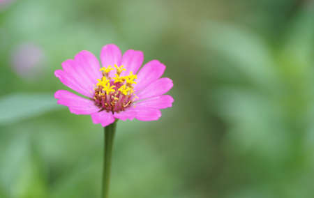 in bloom: pink bloom zinnia flower Stock Photo