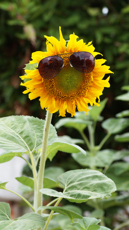 sunglassess: sunglassess on sunflower in garden