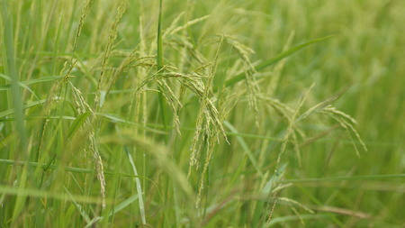 lose up: lose up of rice paddy in autumn