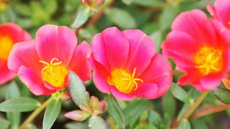 portulaca flower Archivio Fotografico