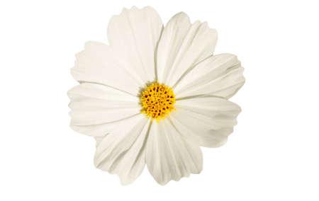 fiore isolato: fiore bianco cosmo isolato