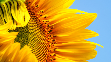 sun light: sunflower and yellow  background
