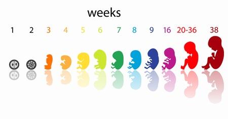 etapas del feto