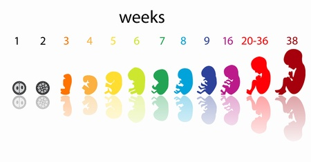 feto: etapas del feto Vectores