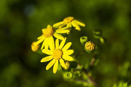 arvensis: Meadow yellow flower - marigold  Stock Photo