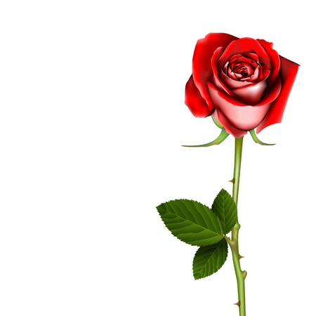 freshens: Red Rose, vector Illustration