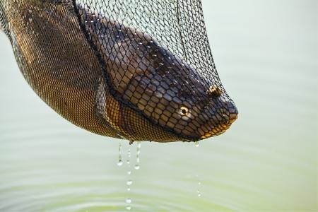 cypriniformes: Fishing, Carp fish in the net