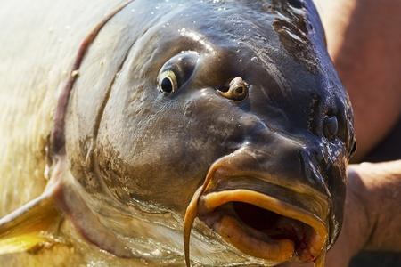 cypriniformes: Live Carp fish