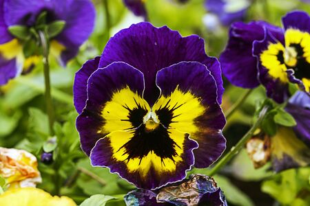 violas: beautiful flower - Violas or Pansies