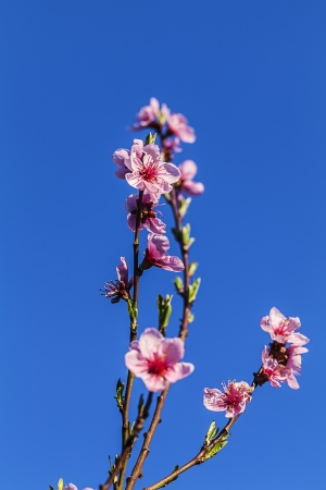 A blooming branch of a peach tree in orchard  photo