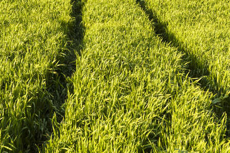 Green Wheat Field with tracks photo