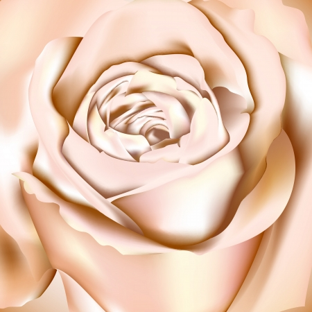 centifolia: White Rose background