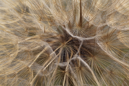 avocation: dandelion flower background, extreme closeup with soft focus