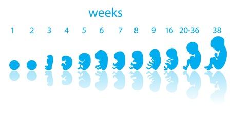 embrion: etapas del feto Vectores
