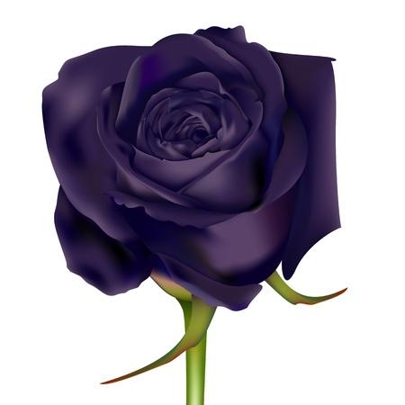 verde y morado: Negro Rose Vectores