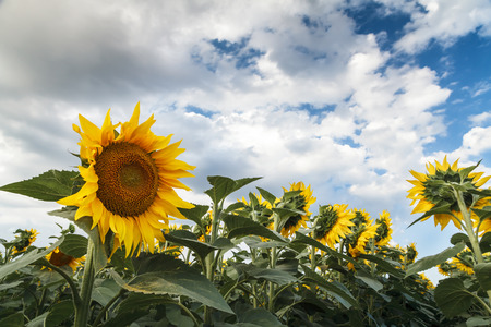 agronomic: Sunflower field before the storm