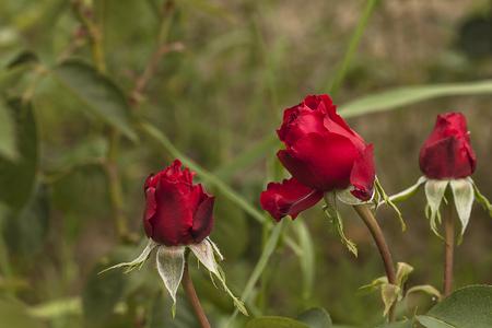 burgeon: Red burgeon roses Stock Photo