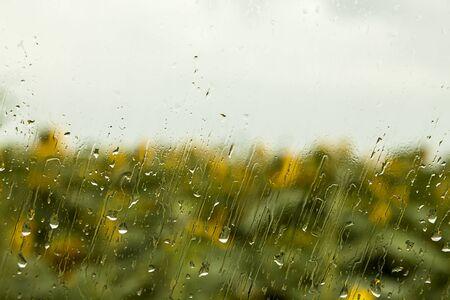 kropla deszczu: heavy rain drops on window with sunflower in the background Zdjęcie Seryjne