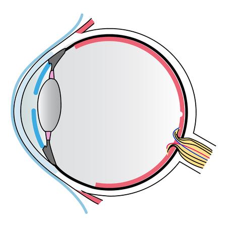 eye anatomy Stock Vector - 56398387