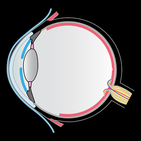 lateral eyes: eye anatomy
