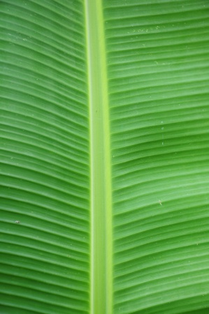 a picture of banana leaf texture can be use for background