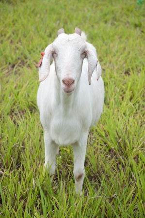 a picture of a white beautiful goat in grass field