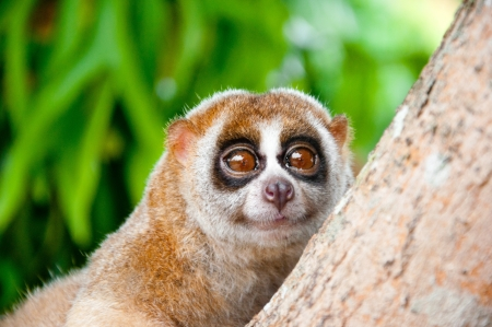 a picture of a cute slow loris monkey animal in nature