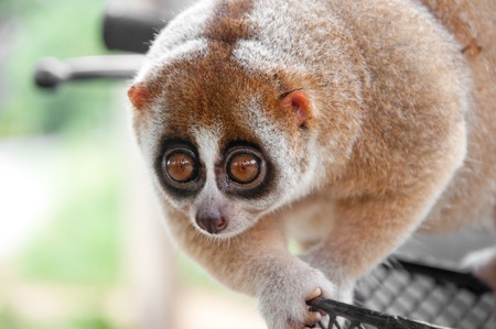 a picture of a cute slow loris monkey animal in nature photo