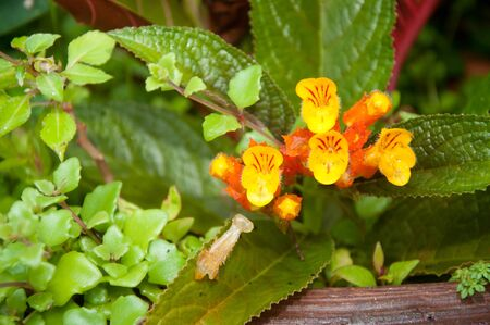 Chrysothemis pulchella (Donn ex Sims) Decne flower Stock Photo - 11233696