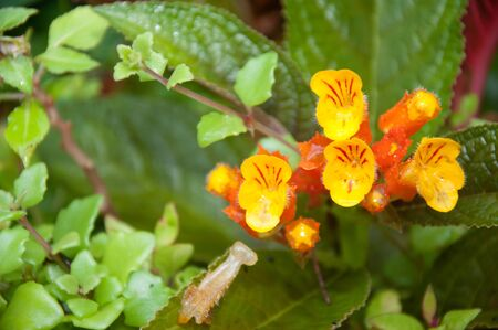 Chrysothemis pulchella flower Stock Photo - 11233676