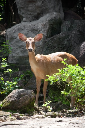 rusa deer photo