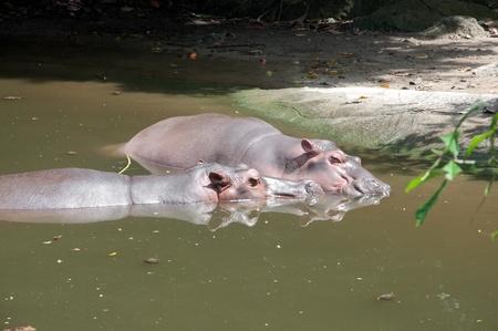 amphibius: Hippopotamus (Hippopotamus amphibius)