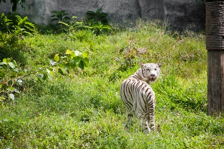 White Tiger Stock Photo - 11284718