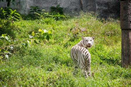 White Tiger Stock Photo - 11284718