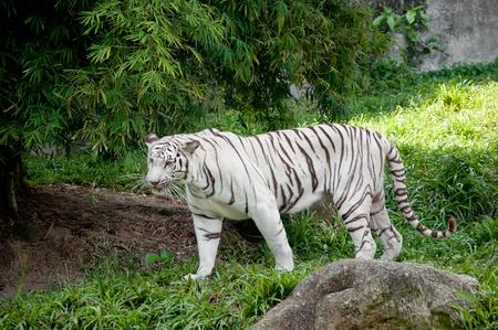 White Tiger Stock Photo - 11284710