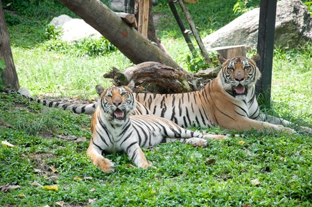 Sumatran Tiger Stock Photo - 11284797