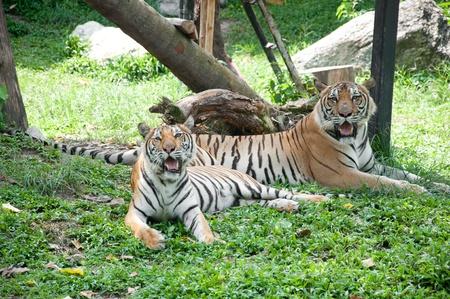 Sumatran Tiger Stock Photo - 11284797