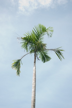 palm tree Stock Photo - 11284503